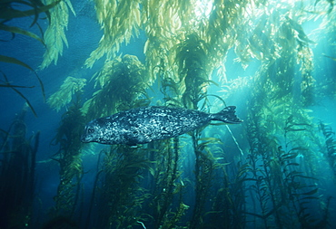 Harbor seal in giant kelp forest (Phoca vitulina)). USA, Channel Islands, CA