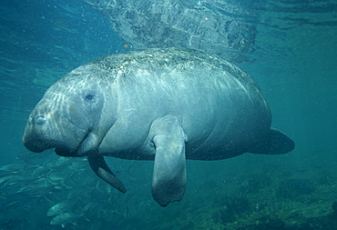 West Indian Manatee (Trichechus manatus). USA, Florida, Crystal River