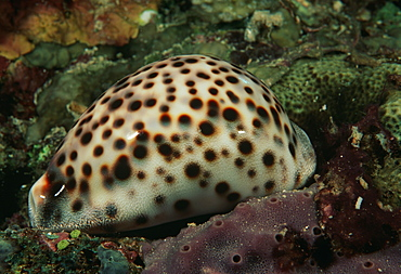 Cowrie.