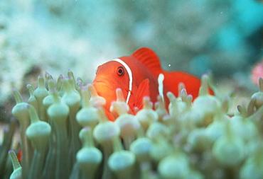 Spine-cheek anemonefish (Premnas biaculeatu). Papua New Guinea