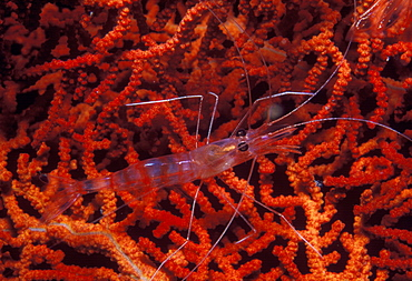 Cleaner shrimp on red gorgonian.Indo Pacific