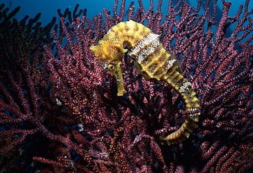 Seahorse holds onto gorgonian (Hippocampus).  Indo Pacific