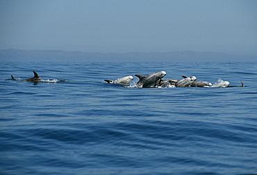 RissoÃs dolphins (Grampus griseus). USA, Channel Islands, CA