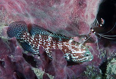 Grouper & Banded coral shrimp ( Cephalopholis sp.  & Stenophus hispidus). ??