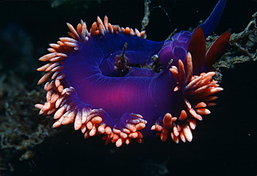 Nudibranch.   (rr)