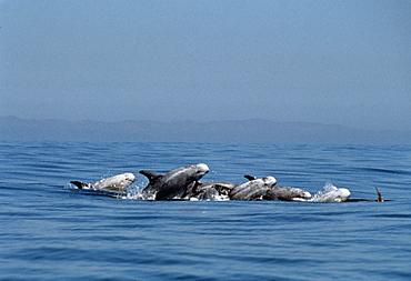 RissoÃs dolphins (Grampus griseus). USA, Channel Islands, CA.   (rr)