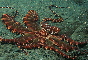 Mimic octopus (Octopus sp.). Indo Pacific