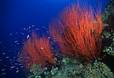 Gorgonians.