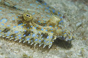 Peacock fish or flounder. Cayman. - 1022-21