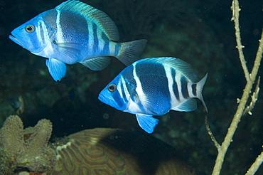 Mating Hamlet fish. Caymans. - 1022-24