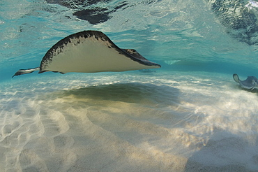 Sting Ray at Sting Ray City. Caymans. - 1022-6