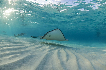 Sting Ray at Sting Ray City. Caymans. - 1022-7