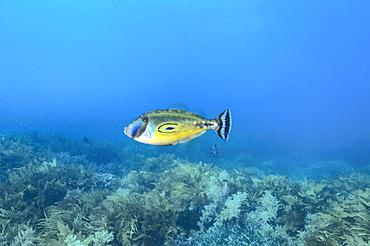 Horseshoe leatherjacket (meuschenia hippocrepis), wild, day, marine protected area, diving off Rottnest Island, Western Australia, Indian Ocean.