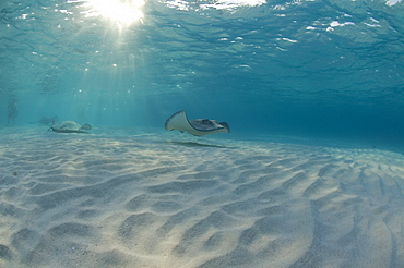 Sting Ray at Sting Ray City. Caymans. - 1022-8