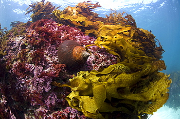 Jourdan's turban (turbo jourdani) large gastropod shell, reddish-brown, Rottnest Island reef, wild, day, marine protected area, free-diving off, cool temperate waters of Western Australia. MORE INFO: Marine plant common kelp, a dominant feature of the underwater landscape. Protected areas are covered in lush growth of  diverse algae, also red algea are here.