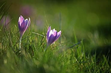 Spring crocus (Crocus vernus), UK