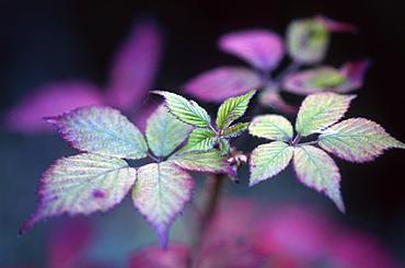 Bramble leaves (Rubus fruticosus), Somerset, UK