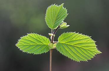 New Hazel leaves (Corylus avellana), UK
