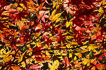 Maple leaves (Acer sp.) in autumn, UK