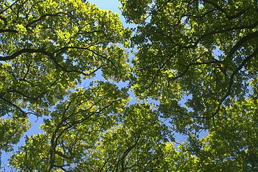 Sessile oak canopy (Quercus petraea) in spring, Devon, UK