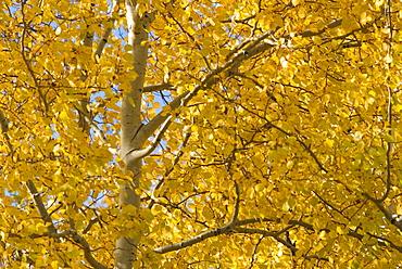 Quaking aspen (Populus tremuloides) in autumn s, Wyoming, USA