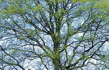 Pedunculate oak (Quercus robus), UK