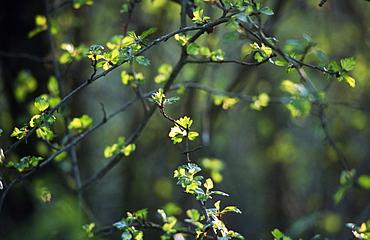 Hawthorn (Crataegus monogyna) leaves, UK