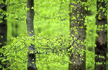 Beech leaves (Fagus sylvatica) in spring, UK