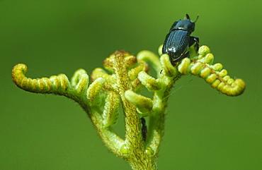 Stag beetle (Sinodendron cylindricum) on bracken frond (Pteridium aquilinum), UK