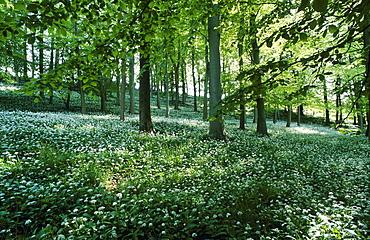 Beech wood in spring with wild garlic (Allium ursinum) aka. Ramson, UK