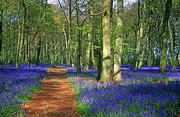 Beech woodland (Fagus sylvatica) and bluebells (Hyacinthoides non-scripta), Oxfordshire, UK