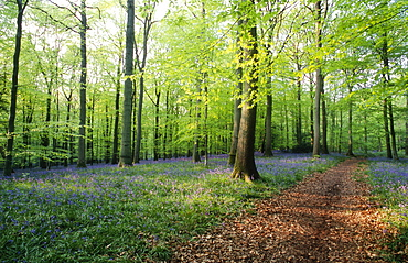 Footpath leading through Beech woodland (Fagus sylvatica) and bluebells (Hyacinthoides non-scripta) in spring, UK