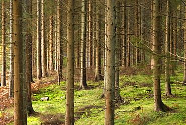 Tree trunks in commercial Pine plantation, UK