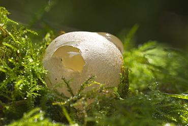 Egg sac of Dog Stinkhorn (Mutinus caninus), UK