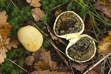 Common puffball (Lycoperdon perlatum) cut in half to reveal black spores, UK