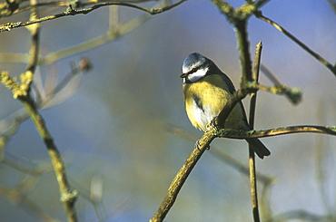 Blue tit (Parus caeruleus), UK