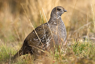 Blue grouse (Dendracarpus obscurus), Wyoming, USA