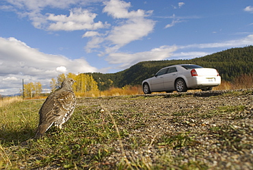 Blue grouse (Dendracarpus obscurus) on roadside with passing car, Wyoming, USA