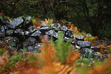 Welsh stone wall and autumnal bracken, UK.