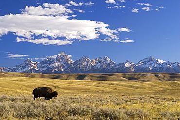 American bison (Bison bison) grazing in front of Grand Teton mountain range, Wyoming, USA