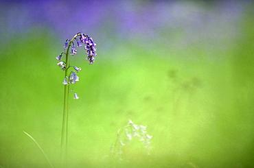Bluebell (Hyacinthoides non-scripta), UK