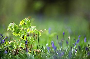 Beech sapling (Fagus sylvatica) and bluebells (Hyacinthoides non-scripta), UK