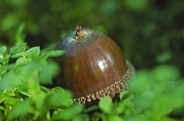 Acorn (Quercus robur), UK