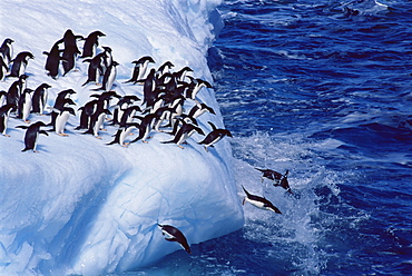 Adelie penguins (Pygoscelis adeliae),on an iceberg, South Georgia, Antarctica, Southern Ocean