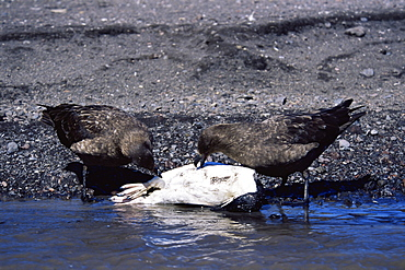 Pair of Skua's (Catharacta sp.) attacking and killing chinstrap penguin, Deception Island, Antarctica, Southern Ocean.