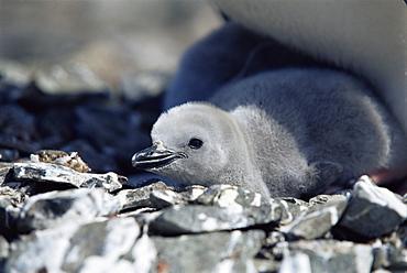 Chinstrap penguin (Pygoscelis antarctica) chick, Hannah Point, Antarctica, Southern Ocean.