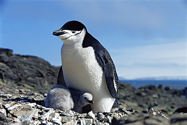 Chinstrap penguin (Pygoscelis antarctica) with chick, Hannah Point, Antarctica, Southern Ocean.