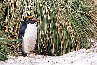 Macaroni penguins (Eudyptes chrysolophus) Nesting amoungst tussock and snow, South Georgia Island, Antarctica, Southern Ocean.