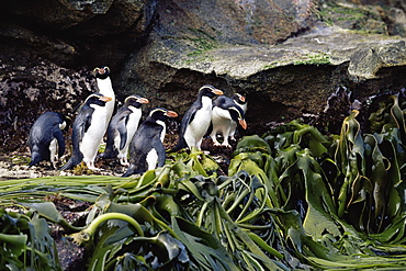 Snares creasted penguins (Eudyptes robustus) on kelp (Durvilla antarctica), Snares Island, New Zealand, Southern Ocean.