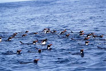 Snares crested penguins (Eudyptes atratus), swimming off Snares Islands, Snares Islands, New Zealand, Pacific Ocean.